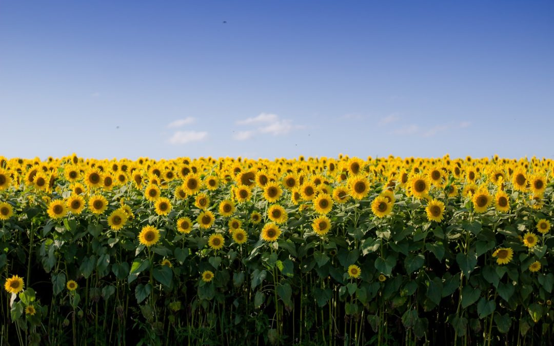 Let's be like sunflowers