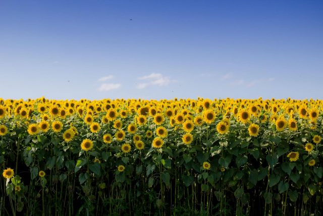 Let's be like sunflowers by Rosalyn Palmer